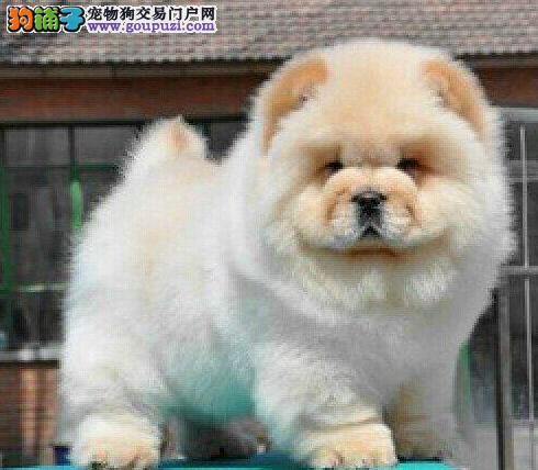 天津北辰区售肉嘴公狗小松狮 松狮犬幼犬可挑选
