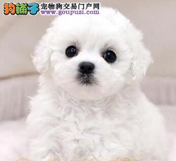 北京出售纯种比熊犬疫苗齐可见幼犬父母 签署健康协议