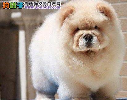 武汉自家狗场专业繁殖直销极品紫舌松狮犬 可上门考察
