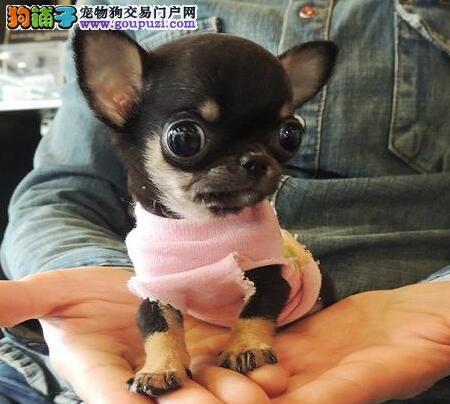 朔州市出售吉娃娃幼犬 可视频看狗 疫苗齐全 质量三包