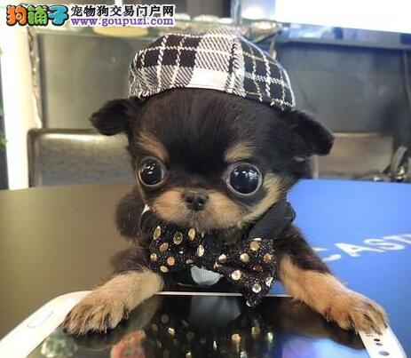CKU犬舍认证出售纯种吉娃娃真实照片包纯