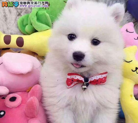 CKU犬舍认证湘潭出售纯种萨摩耶外地可空运已驱虫