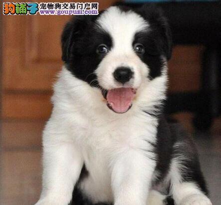 陨石色通脖通缝的南昌边境牧羊犬找新家 狗贩子绕行