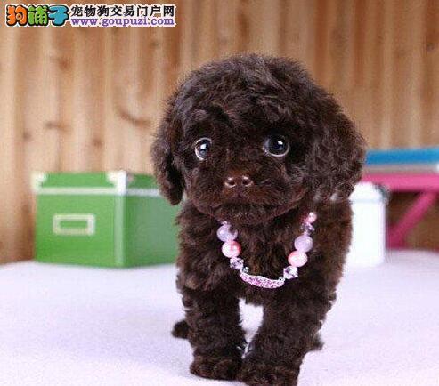 精品高品质泰迪犬幼犬热卖中喜欢它的快来