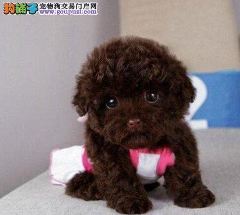 狗场直销好品相西宁泰迪犬多种颜色可上门看狗