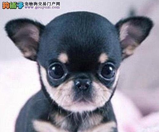 汕头狗场出售墨西哥纯血统吉娃娃幼犬 狗贩子勿扰