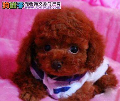 多只优秀进口韩系贵阳泰迪犬低价出售 保证血统纯正1
