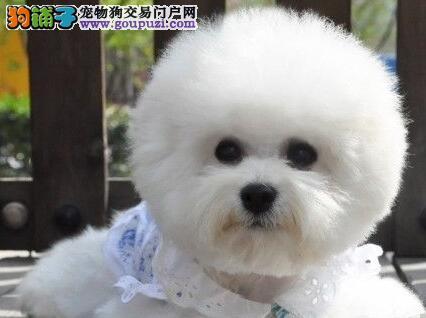 上海赛级比熊宝宝毛色靓丽纽扣眼比熊犬法系卷毛比熊