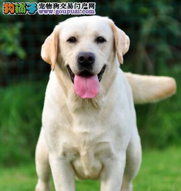 完美品相血统纯正金华拉布拉多出售购犬可签协议