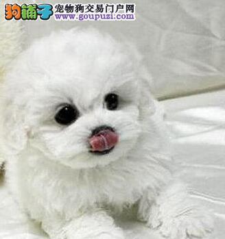 重庆本地出售高品质比熊宝宝送用品送狗粮
