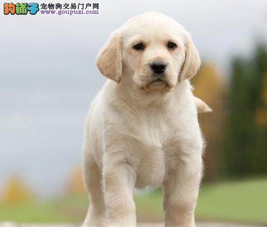 山南地区直销纯种拉布拉多猎犬 多种颜色拉拉聪明健康