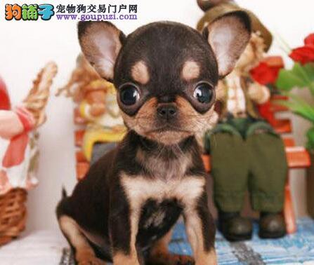 深圳正规犬舍出售苹果头吉娃娃 有问题可退有血统证书
