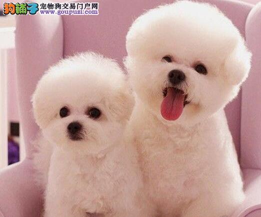 北京售韩国引进比熊幼犬 白色粉扑 巴比熊犬 棉花糖犬