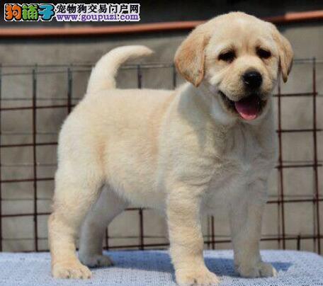 厦门拉布拉多寻回猎犬 多色可选 血统正品相好体质健康