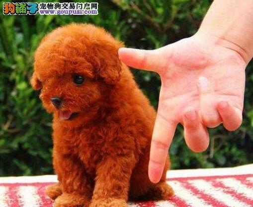 最大犬舍出售多种颜色贵宾犬签订协议终身质保