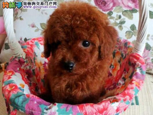南昌犬舍出售巨型贵宾犬 多种颜色可上门选购