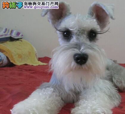 重庆实体店热卖雪纳瑞颜色齐全微信咨询看狗狗照片