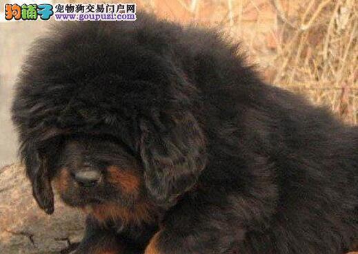 色泽纯正的大狮头南昌藏獒幼崽 铁头包金纯正血统