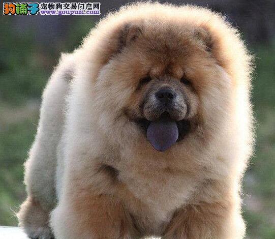德宏州售大头肉嘴紫舌头松狮犬 多种颜色可选 包养活