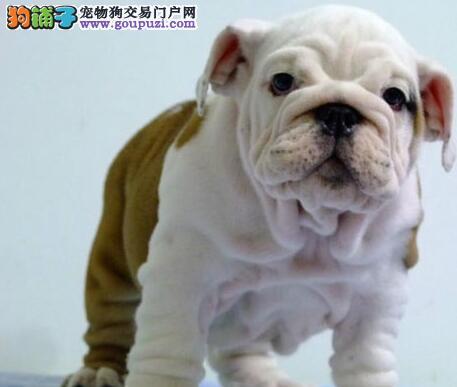 英国斗牛犬三明最大的正规犬舍完美售后质量三包多窝可选