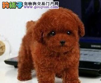 低价直销纯种韩系血统泰迪犬 大连附近可免费送狗到家