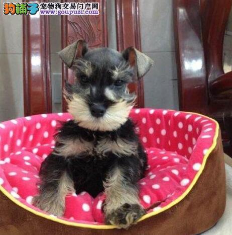 纯种可爱的济南雪纳瑞幼犬找爸爸妈妈 终身免费售后3