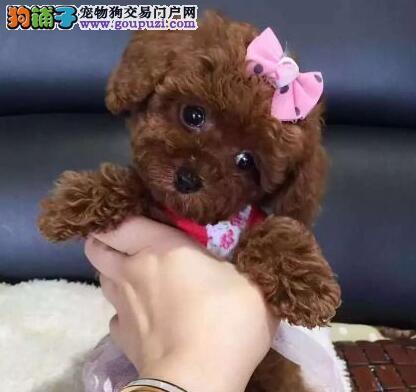 可爱纯种深圳泰迪犬出售中 纯正韩国血统保证健康1