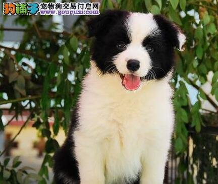 上海出售边境牧羊犬 纯种边境犬 边牧幼犬公母都有