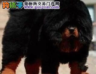 霸气獒园狮王怪兽牛蹄血系藏獒现已2个月火热销售