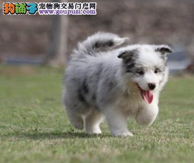 高智商边境牧羊犬幼犬出售 诚信交易 终身包纯包健康4