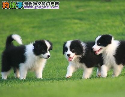 高智商边境牧羊犬幼犬出售 诚信交易 终身包纯包健康3