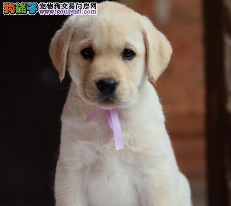上海大头宽嘴拉布拉多幼犬导盲犬拉布