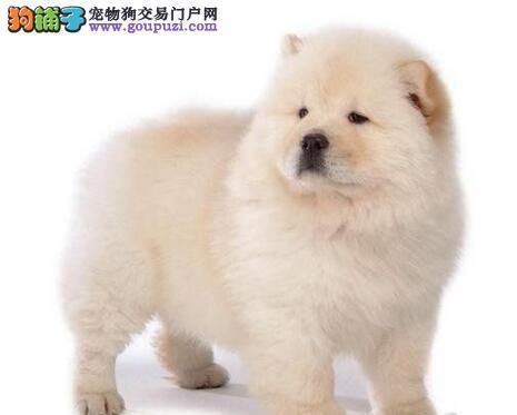 胖嘟嘟大毛量的合肥松狮犬找新主人 请您放心选购
