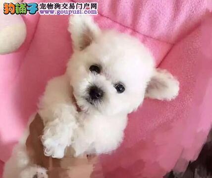 重庆直销家养超漂亮韩国引进茶杯体型小泰迪熊泰迪幼犬
