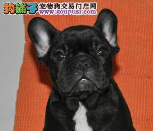 东莞帅气迷人法国斗牛犬 纯血统包健康法牛出售