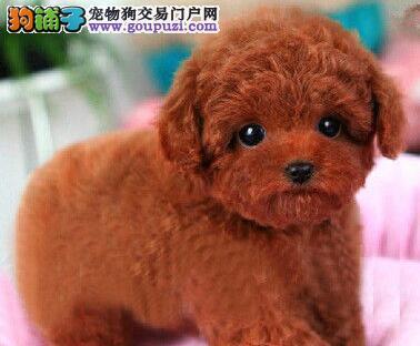 赤峰卷毛小体泰迪犬出售 方便携带的玩具犬健康好养活2