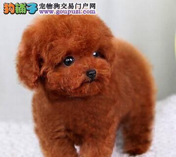 赤峰卷毛小体泰迪犬出售 方便携带的玩具犬健康好养活1