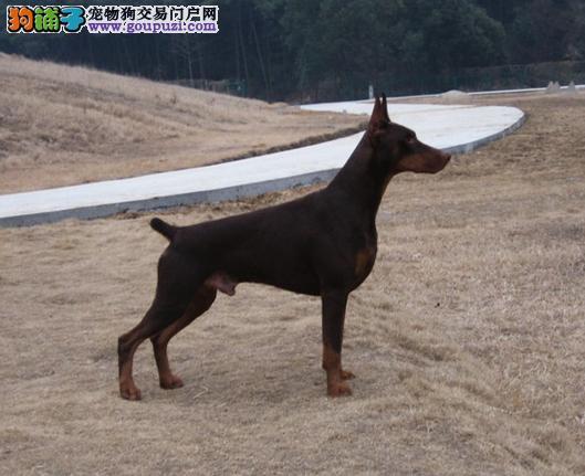 顶级杜高犬 杜宾 赛级血统 优质品种 特价出售4