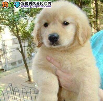 西安家养金毛犬绝对靠谱买的放心后期省心