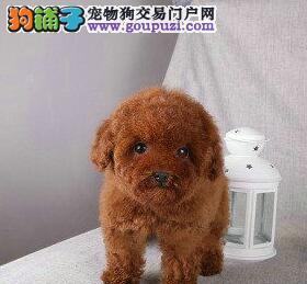 昆明专业繁殖纯种泰迪犬 小体娃娃脸 颜色深