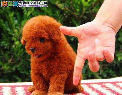 广东肇庆专业繁殖 泰迪幼犬 签售后协议可见父母