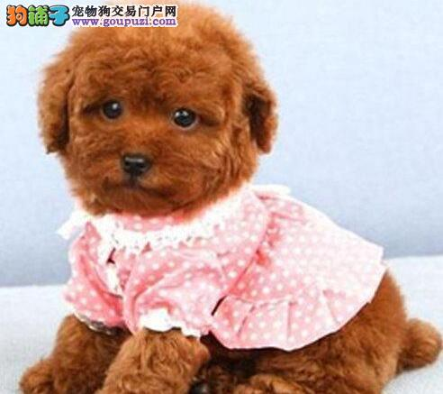 极品韩系血统泰迪犬上海狗场直销 已做进口疫苗
