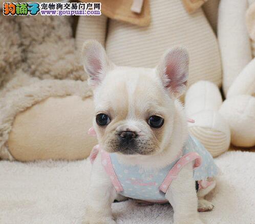 北京高品质法国斗牛犬出售 赛级法牛憨厚体型 赛级血统
