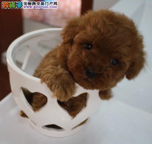 热销多只优秀的纯种茶杯犬签订保障协议