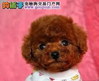 上海实物拍摄   极品泰迪犬  签订协议
