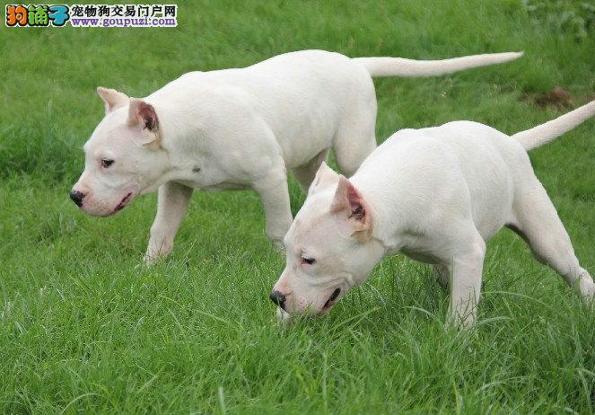 杜高犬幼犬出售 纯种健康 可上门选购 售后保障