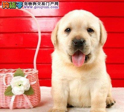 养殖场出售高品质宁波拉布拉多犬可签订活体4