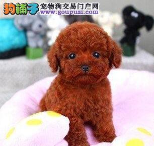 专业正规犬舍热卖优秀泰迪犬爱狗人士优先3
