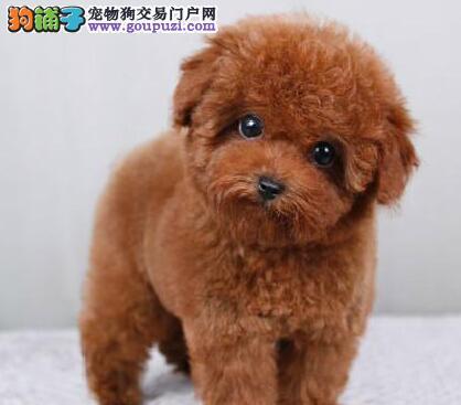 专业正规犬舍热卖优秀泰迪犬爱狗人士优先2