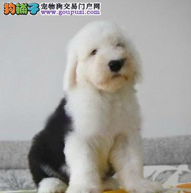 CKU认证犬舍 专业出售极品 古代牧羊犬幼犬市内免费送货1